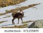 Small photo of Alpine Chamois on snow