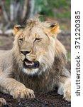 portrait of a lion in zimbabwe  ... | Shutterstock . vector #371220385