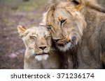 Lion And Lioness In Love...