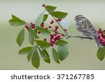 Small photo of Sparrow on American Holly Branch