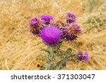 Blooming Thistle Or Silybum...
