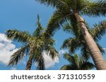 Small photo of Alexander palm trees against blue sky