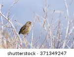 Golden Crowned Sparrow In A...