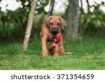 Stock photo rhodesian ridgeback puppy playing with a toy 371354659