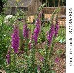 Group Of Purple Flowering...