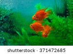 Red Blood Parrot Cichlid In...