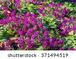 Small photo of Purple flowers of Lobularia maritima called Alyssum maritimum.