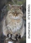 Small photo of African wild cat - Felis silvestris libyca
