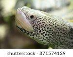 Small photo of diamondback turtle, Malaclemys terrapin