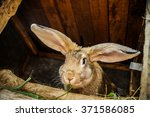 Stock photo gray or brown farm rabbit eat green grass in summer day 371586085