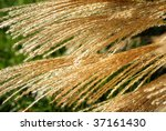 Golden sunlight filtering through feathery autumn grass.  Close-up with shallow dof. - stock photo