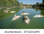 Dead Fish  Carp  Float To The...