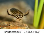 Small photo of Lesser diving beetle (Acilius sulcatus) holding to stone captured under water in the small lake. Colorful background - green reed, blue, brown stone.