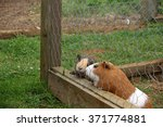 Two Guinea Pigs Looking Throug...