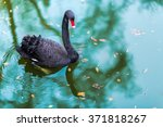 A Black Swan  In A Ponds