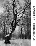 old tree | Shutterstock . vector #37185205