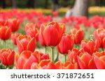 Red Tulips In Flower Field