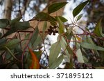 close up on eucalyptus branch... | Shutterstock . vector #371895121