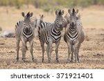 three zebras  kruger park ... | Shutterstock . vector #371921401