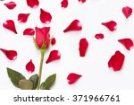 Stock photo red rose on white background with fallen petals 371966761