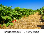 strawberry field with ripening... | Shutterstock . vector #371994055