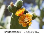 Prickly Pears Cactus  Opuntia...