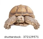 Stock photo large sulcata tortoise crawling and looking forward on a white studio background 372129571