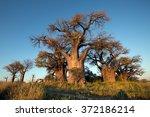 baines baobab | Shutterstock . vector #372186214