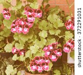 Small photo of Vintage looking Geranium flower (Cranesbills Plantae Magnoliophyta Eudicots Geraniales Geraniaceae)
