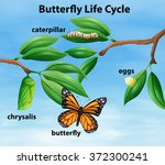 butterfly life cycle diagram...