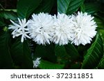 Coffee Tree Blossom With White...