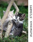 Stock photo two playing small kittens in a garden 37236895