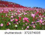 Cosmos Flowers In Kokuei...