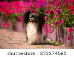 Cute Papillon Sitting In The...