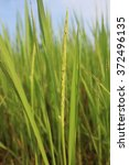 rices   Shutterstock . vector #372496135