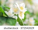 Small photo of Flowering Hoary Mock-orange (Philadelphus pubenses Lois.), Expocenter of Ukraine, Kyiv