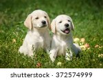 Stock photo labrador retriever puppies sitting on the lawn 372574999