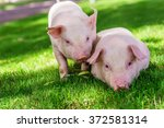 Small Cute Pigs Walking On Grass