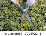 cutting boxwood hedge with...   Shutterstock . vector #372592141