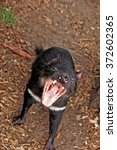 Small photo of Sarcophilus harrisii - Tasmanian devil