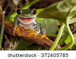 Red Eyed Tree Frog Smile
