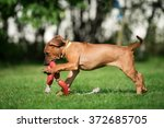 Stock photo rhodesian ridgeback puppy playing outdoors 372685705