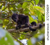 Small photo of Mantled Howler, Alouatta palliata, Costa Rica