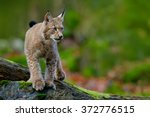 lynx  eurasian wild cat walking ... | Shutterstock . vector #372776515