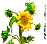 Sunflower Blooming Bud Isolate...