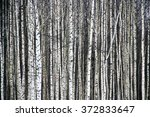 Black And White Aspen Forest In ...