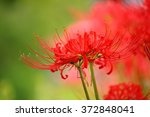 Red Spider Lily In Japanese Is...