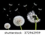Dandelion Flower And Flying...