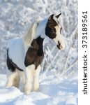 American Miniature Horse  ...