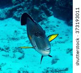 Small photo of Sohal surgeonfish (Acanthurus sohal) in the Red Sea, Egypt.